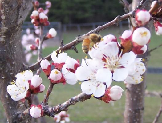 Meduseld Farm - Bees - Spring - Swarming