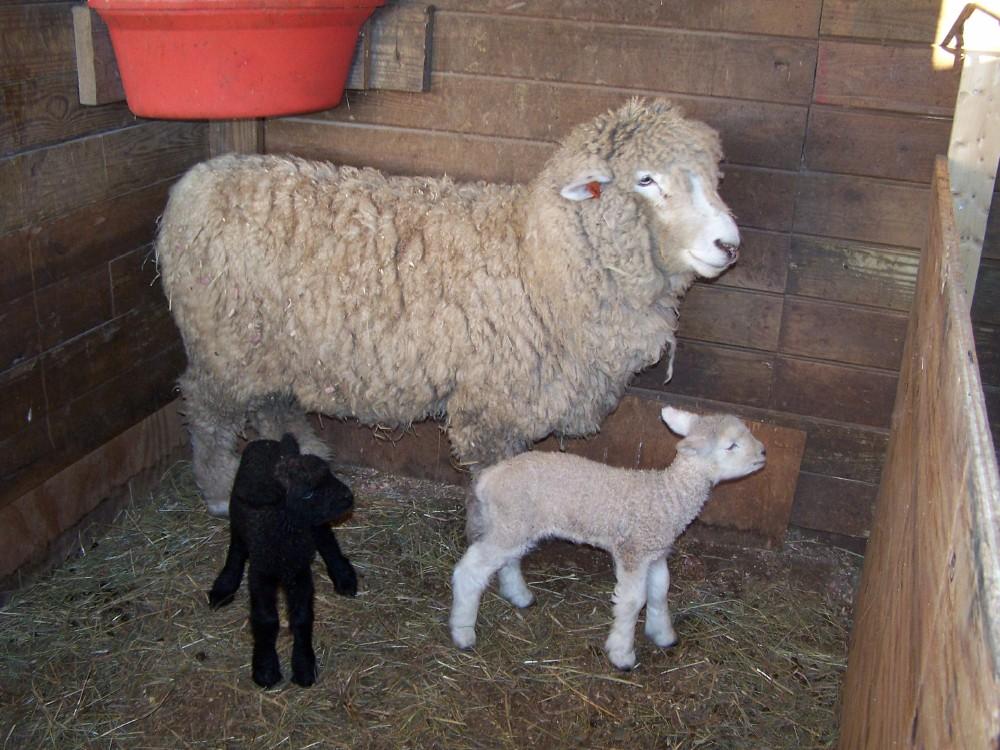 Romney ewe and lambs