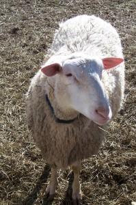 East Friesian Ram