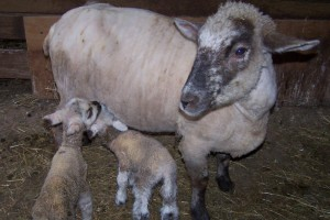 Dorset Down Ewe and Lambs