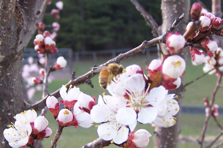 Honey bee on Hardy Almond at Meduseld