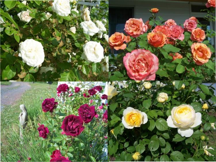 rosemontage