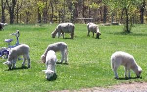 Meduseld Grass-fed Lambs