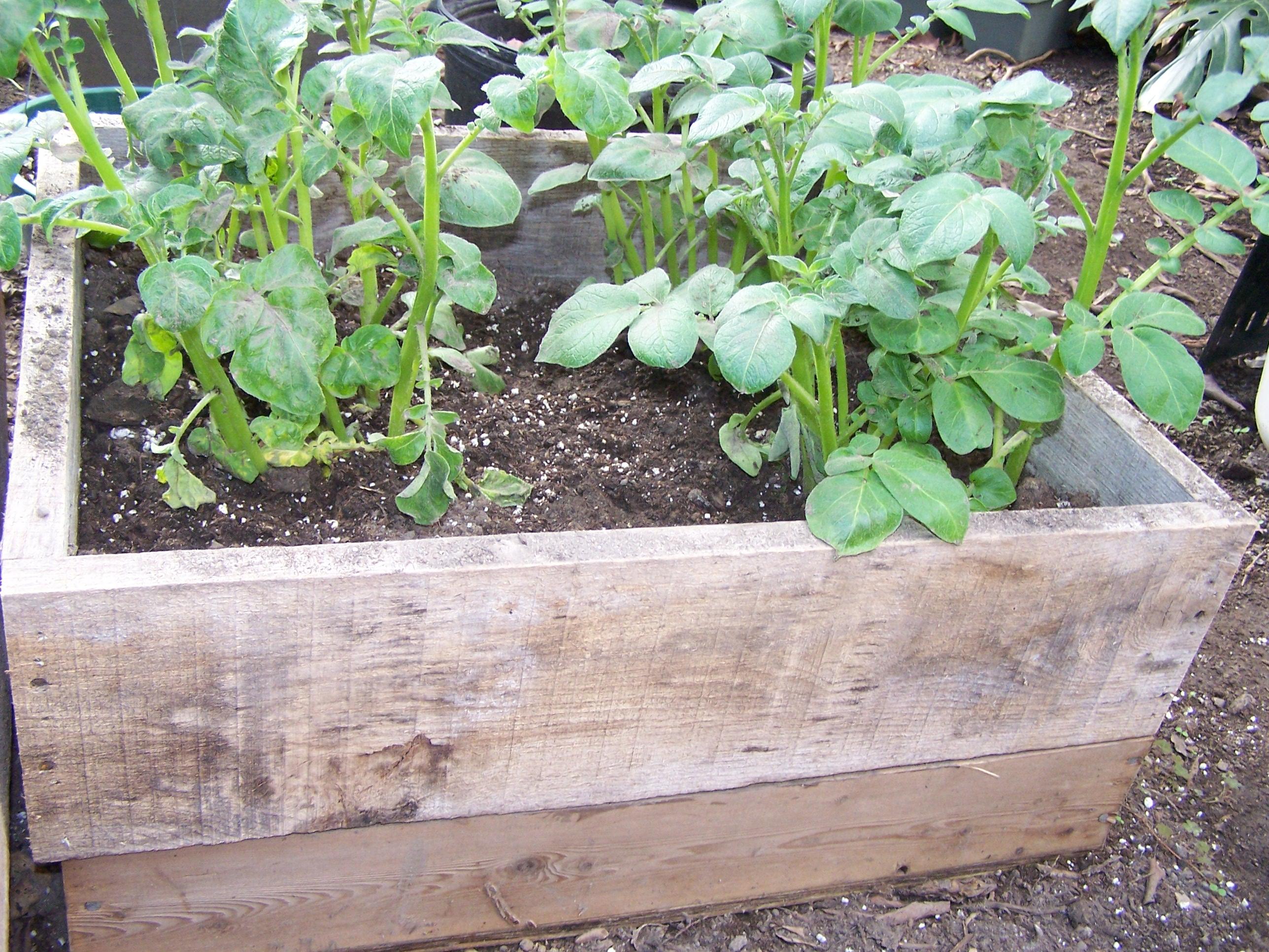 Технология выращивания картофеля под пленкой» 82