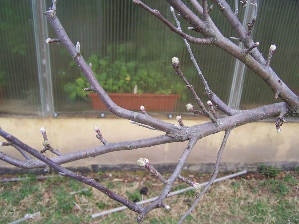 Buds forming on apple tree