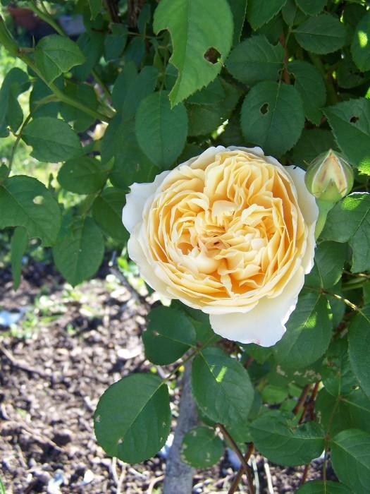 "Rose Tree ""Charlotte"""