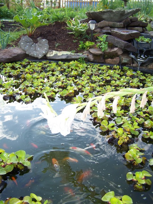 Pond with assorted Koi and Goldfish
