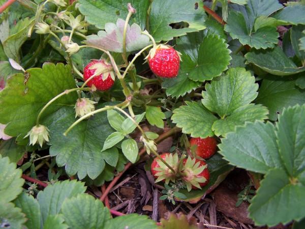 Strawberry plants in October - Mara des Bois