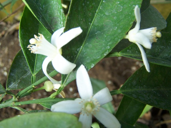 Navel Orange blossoms