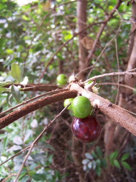 Jabuticaba Berries and Blossom
