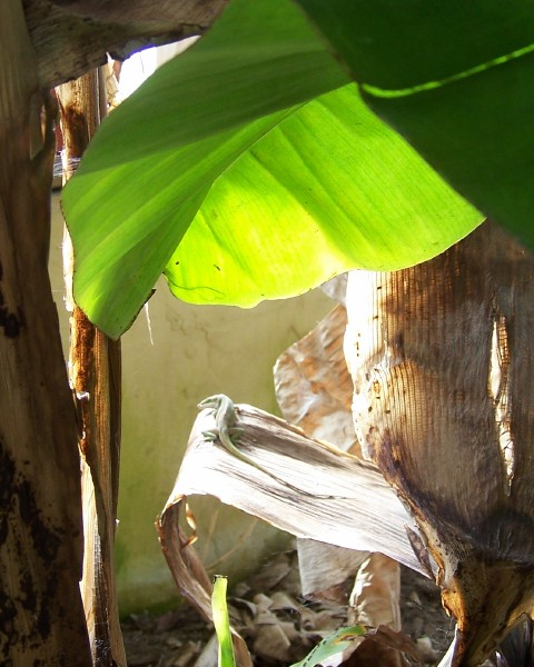 Green Anole Lizard is a resident of our conservatory