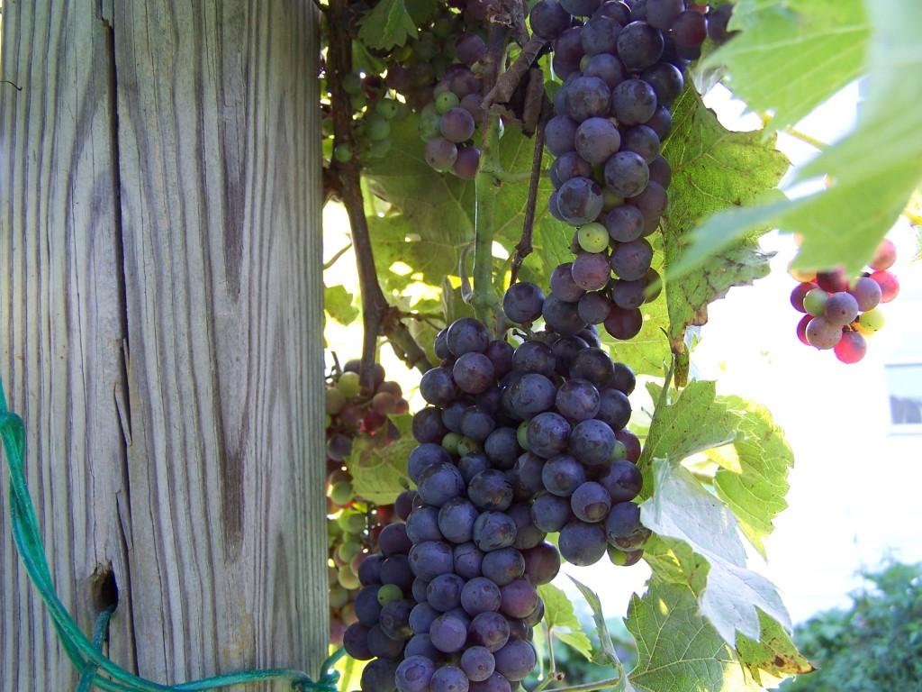 Steadler Noir Grape Vine
