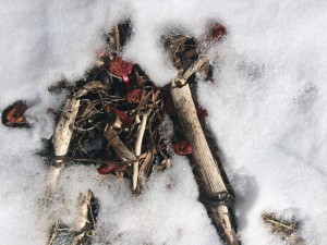 Rhubarb in the snow