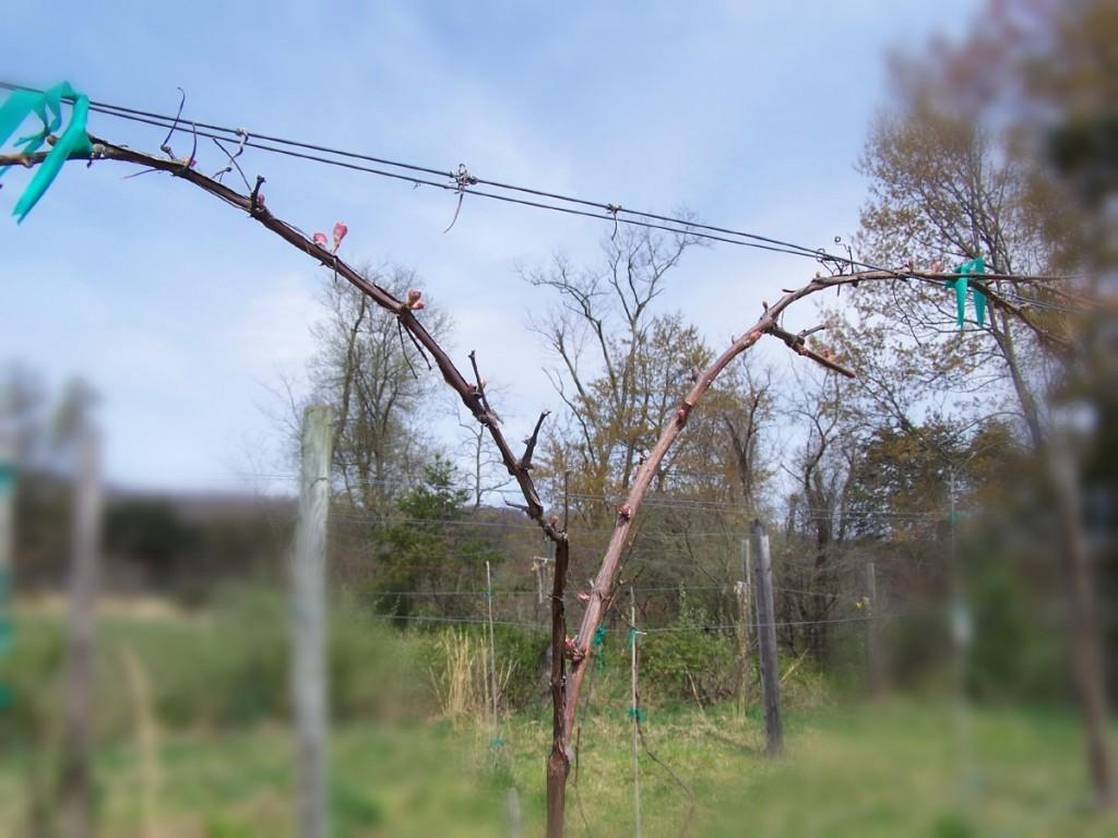 A pruned Marechal Foch grapevine at Meduseld