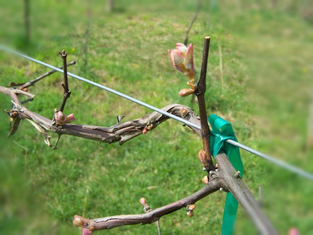 A Marechal Foch Vine budding at Meduseld
